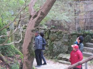 樹齢800年の楠木